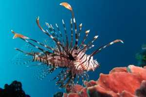 Apartments for rent Bonaire -Lion fish eat