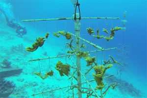 Apartments for rent Bonaire -coral restoration photo