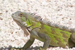 Apartments for rent Bonaire -iguana