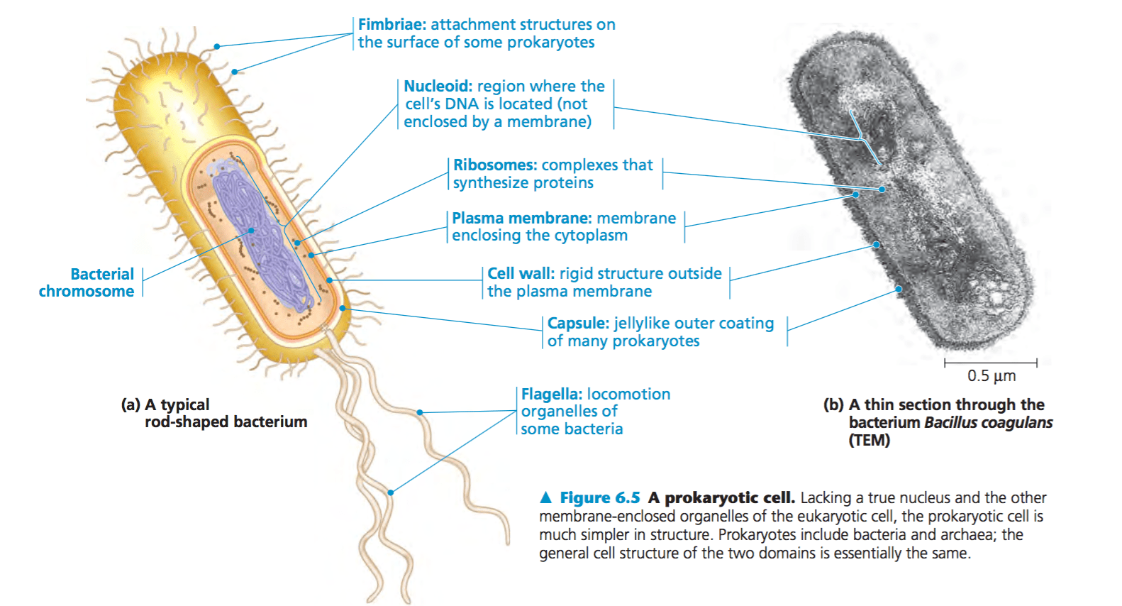 Eukaryotic And Prokaryotic Cells Ap Biology