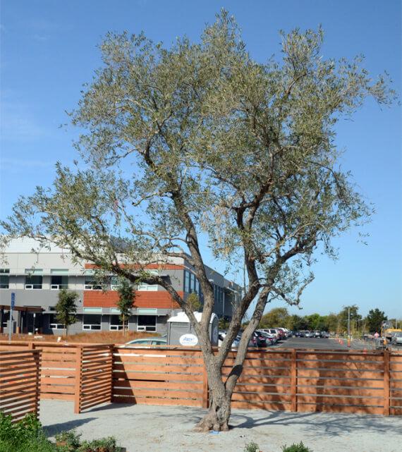 majestic-olive-tree