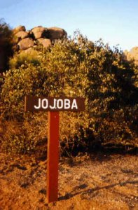 Jojoba Exhibit, Near Boulders, Desert Foothills Scenic Drive, 1995