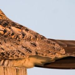On The Wild Side: The Lesser Nighthawk