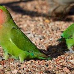 Photos: Wild Peach-Faced Love Birds