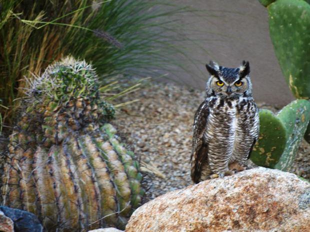 owl2_pastore_one_owl