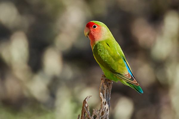 Peach Faced Lovebird, Courtesy of Tom Mangelsdorf