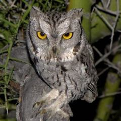 Video: Western Screech Owls & Nestlings – Part II, Updated June 22