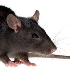 Sneak Peeks: RATS!
