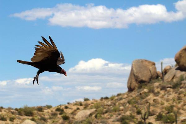 Turkey vulture flying over desert
