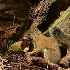 AZ Game & Fish News: Decline in Endangered Red Squirrels