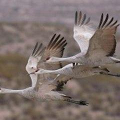 AZ Game & Fish News: Sandhill Cranes Winging Their Way Back to Arizona