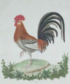 Gravure_ancienne_oiseau_par_Martinet_-_coq