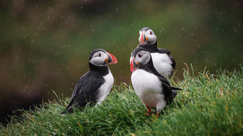 rule of odds composition puffins