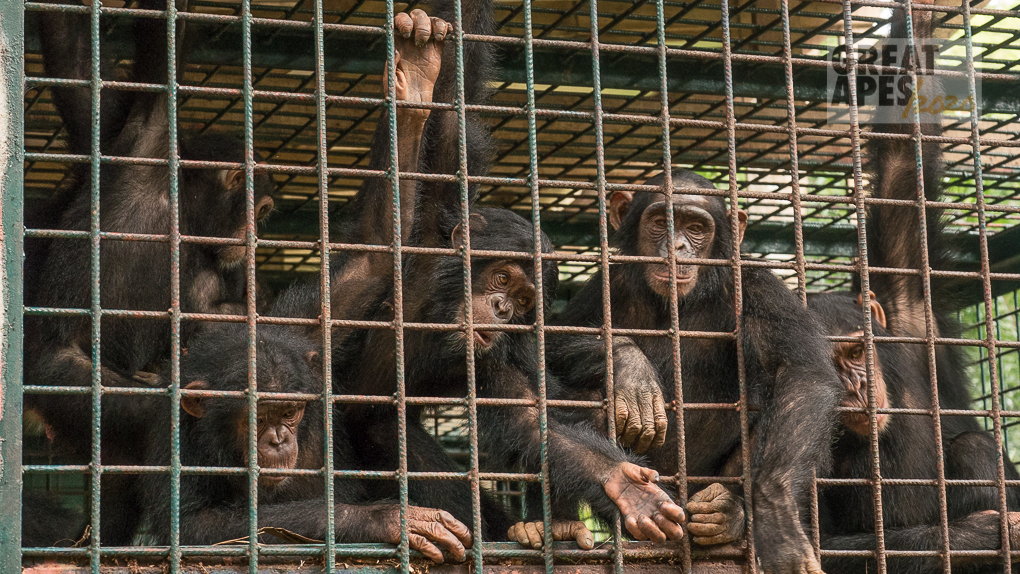 orphan chimpanzee Ape Action Africa Cameroon