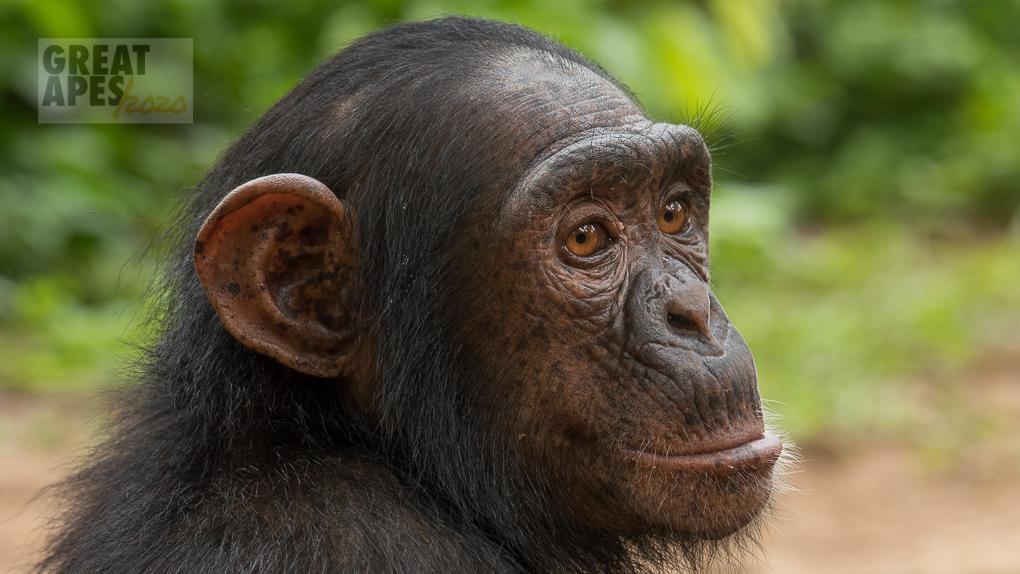orphan chimpanzee great ape