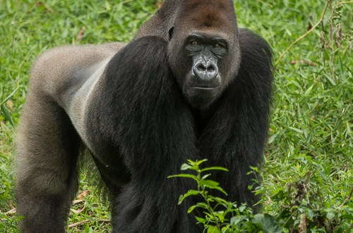 western lowland gorilla great apes P1130382