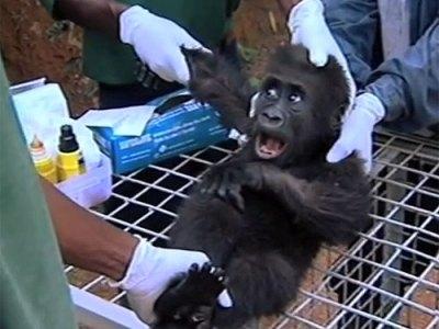 Orphan baby western lowland gorilla Shufai