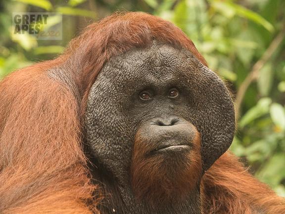 Bornean orangutan Kalimantan Borneo