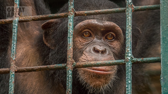 chimpanzee baby orphan at Ape Action Africa Cameroon