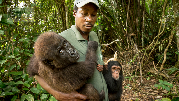 Cameroon Ape Action Africa orphan great apes-1150268
