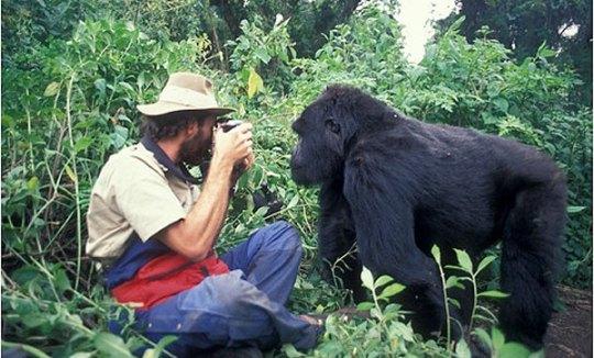 Gerry Ellis photographing mountain gorilla, Virunga Mountains Rwanda