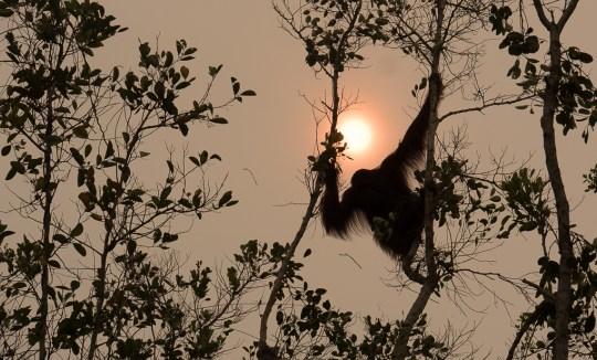 great apes orangutan climate change P1270067