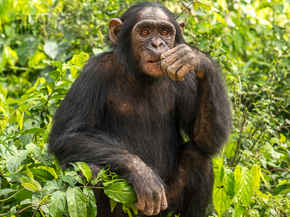 chimpanzee great ape Cameroon