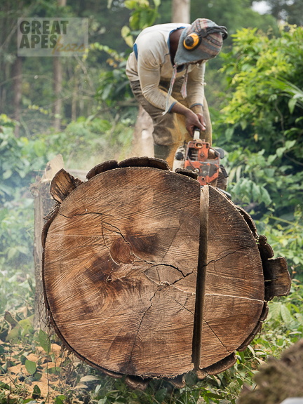 deforestation logging for palm oil plantation Cameroon
