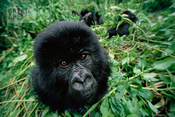 mountain gorilla Virunga NP