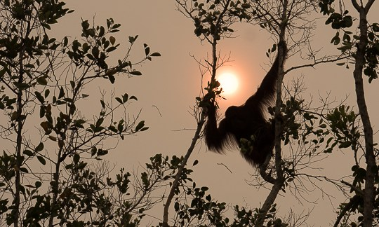 orangutan peatland fire Borneo