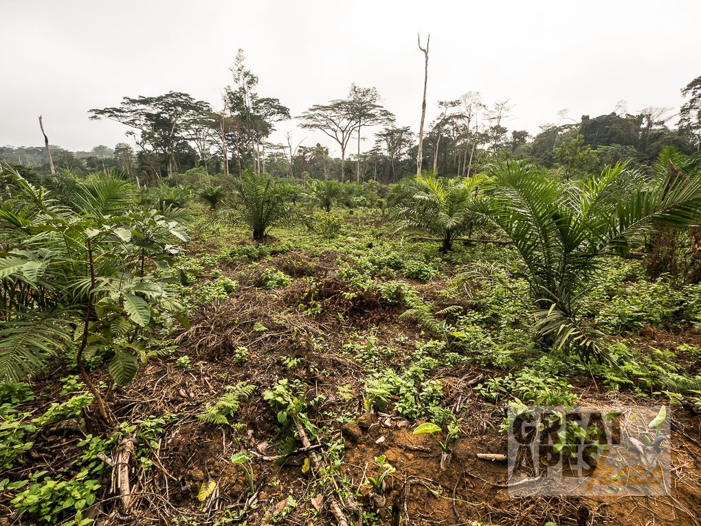 slash and burn palm oil deforestation, Cameroon