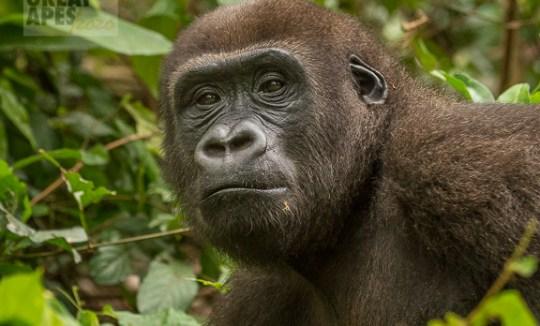 western lowland gorill great ape -1170313