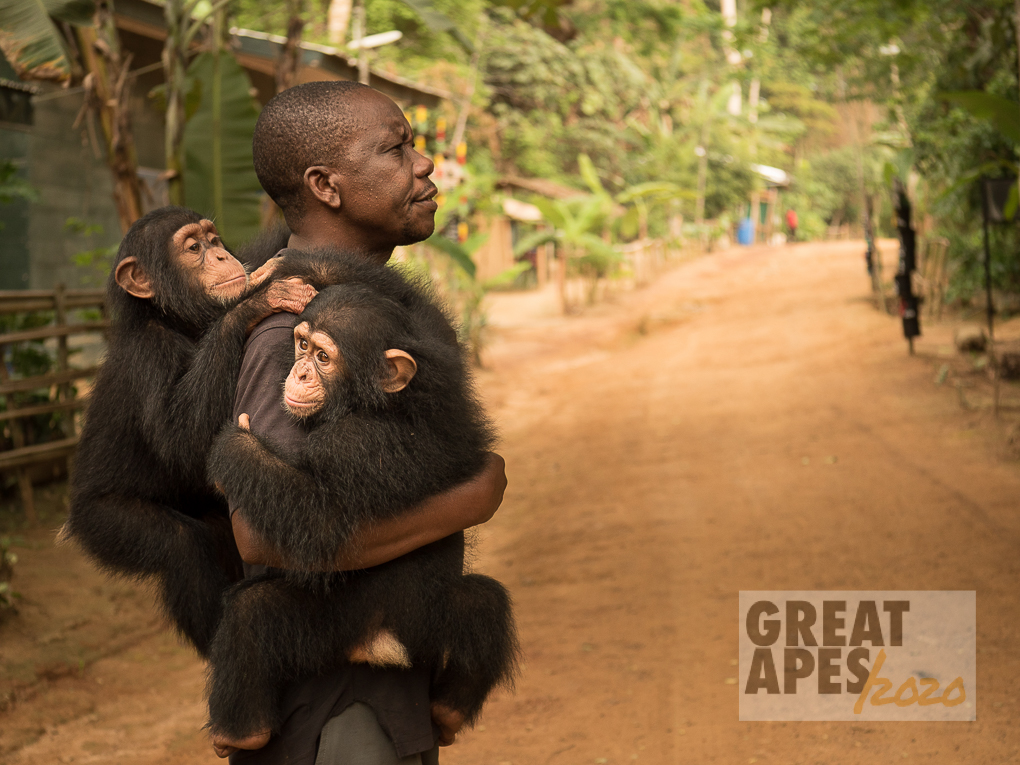 orphan Daphne and Larry chimpanzee, Ape Action Africa