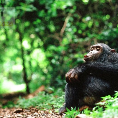 pan hooting Eastern chimpanzee (Pan troglodytes)