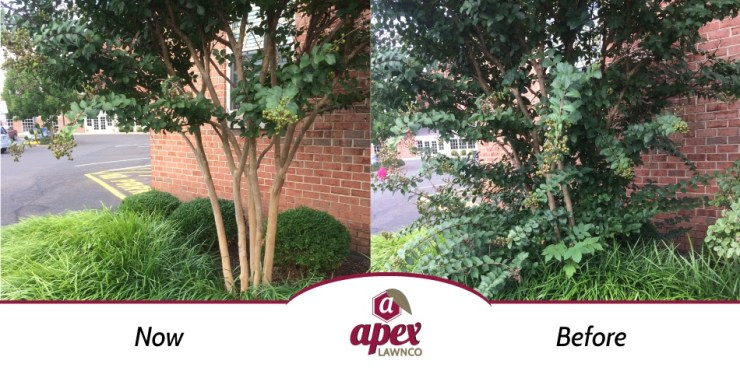 pruning before and after