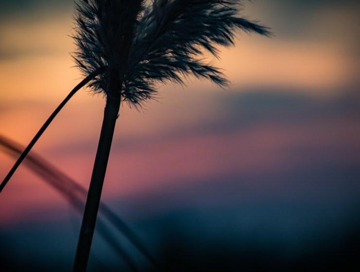 Ornamental grass at dusk