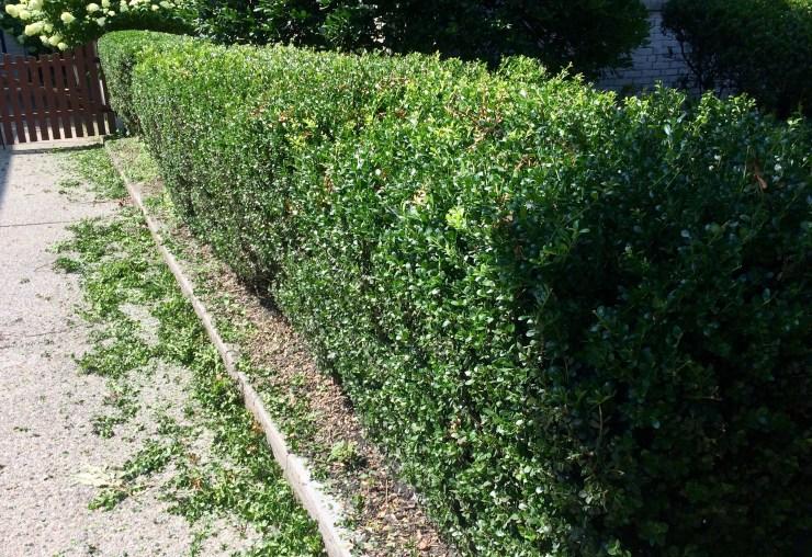 prune long hedge along driveway