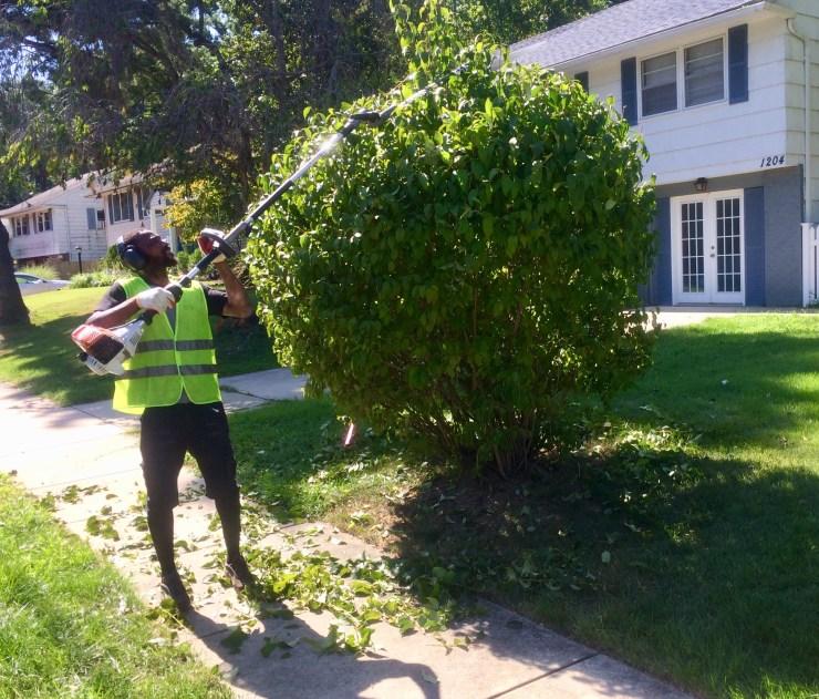 pruning of tall shrub