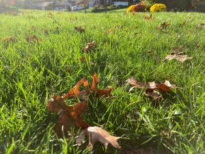 Removing Fall leaves from lawn