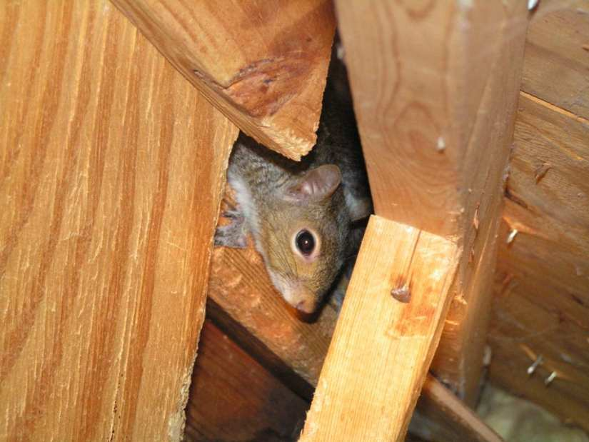 Squirrel removal from an attic.