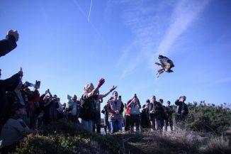 Libertação de aves de presa com público