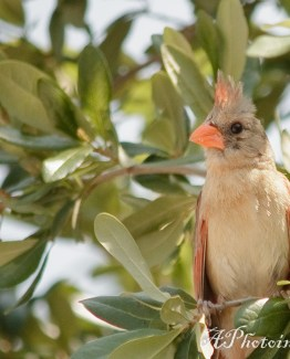 Redbird-1