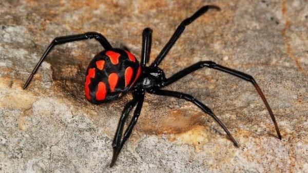 В Москве появились ядовитые пауки