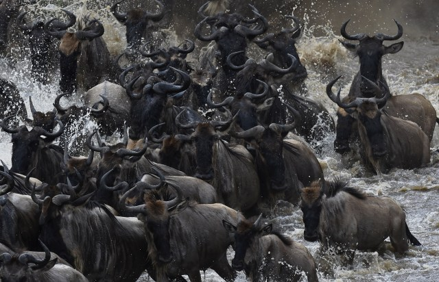 wildebeest blue wildebeest black wildebeest african wildebeest wildebeest migrate the wildebeest wildebeest animal golden wildebeest a wildebeest king wildebeest wildebeest baby white bearded wildebeest zebra and wildebeest wildebeest hunting wildebeest crocodile gnus wildebeest herdtracker types of wildebeest red wildebeest blou wilde bees gold wildebeest schleich wildebeest the wild wildebeest golden wildebeest price wildebeest family wild wildebeest female wildebeest wildebeest for sale show me a wildebeest lion wildebeest the year of the wildebeest white wildebeest crocodile eating wildebeest common wildebeest cookson's wildebeest albino wildebeest nyasa wildebeest eastern white bearded wildebeest wildebeest kills lion african wild dog wildebeest lion and wildebeest do wildebeest migrate hunting blue wildebeest western white bearded wildebeest wildebeest from africa wildebeest 4x4 lion hunting wildebeest golden wildebeest price 2019 lion eating wildebeest golden blue wildebeest lion protects baby wildebeest zebra wildebeest zebra kicks wildebeest male wildebeest wildebeest attack blue wildebeest hunting prices dead wildebeest black wildebeest hunting cheetah wildebeest lion chasing wildebeest world record blue wildebeest crocodile and wildebeest hippo saves wildebeest from crocodile different types of wildebeest wildebeest reviews cheetah hunting wildebeest hyena kills wildebeest blue wildebeest for sale wildebeest price lion attack wildebeest wildebeest african animals lions hunt wildebeests therefore wildebeests are gazelle and wildebeest cheetah chasing wildebeest hyena attack wildebeest black wildebeest for sale lion takes down wildebeest lion saves wildebeest crocodile attack wildebeest wildebeest masai mara wildebeest like animals golden wildebeest hunting price king wildebeest price the blue wildebeest wildebeest painting wildebeest facts wildebeest migration facts blue wildebeest facts black wildebeest facts wildebeest fun facts interesting facts about w