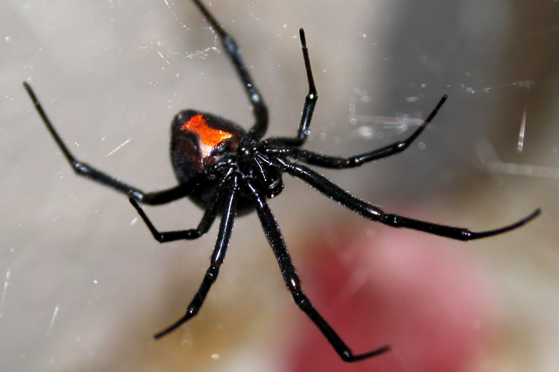 Black Widow Spider Bites 5-Year-Old Girl in Massachusetts   Time