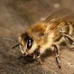 Cuerpo cubierto de pelo de la apis mellifera