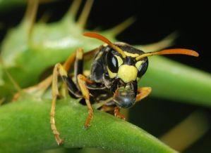 Detalle de las mandíbulas de las avispas