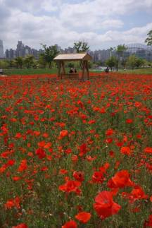 Simple bed of poppies