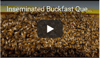 video inseminated buckfast queen Apis Donau