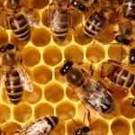 Les abeilles valent 143 milliards d'euros. Presqu'autant qu'Apple !